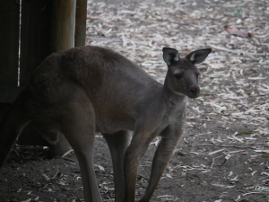 Kangaroo at the Flora & Fauna Park